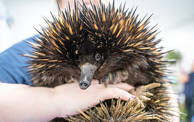echidna being held
