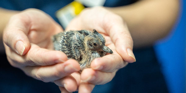what to do if you find a baby bird rspca queensland